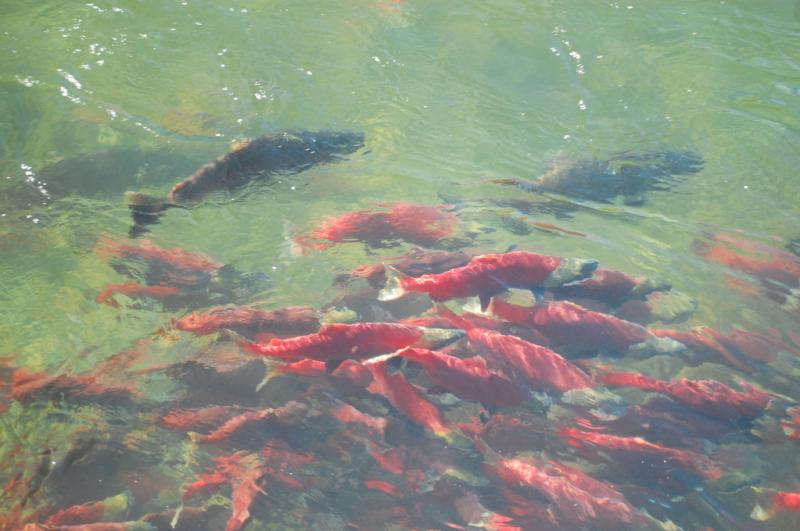 Salmon 4.jpg